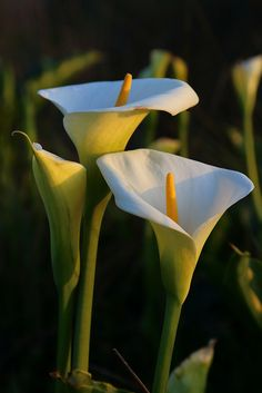 Happy Easter ~ Calla Lilies by Don McCullough
