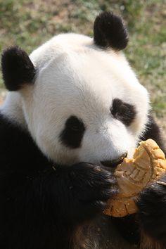 Panda love Mooncakes  Awesome Animal Photos Of 2013