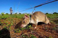 Крысы-герои спасают людей от страшной смерти