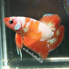 Orange Marble Show Plakat Male - bred by Interfish Thailand