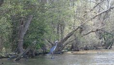 Great Blue Heron at the mouth of the Uwharrie River.
