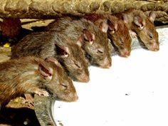 Rats in rattemple india Funny Rats, Dumbo Rat, Temple India, Occult Art, Pet Rats, Pet Birds, Goats, Creepy, Cute Animals