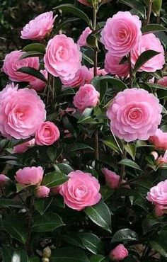 Camellia Japonica, E.G Waterhouse, pot size: is a spectacular flowering evergreen ornamental shrub which should be planted in semi shade Evergreen Garden, Evergreen Shrubs, Flowers Nature, Pink Flowers, Camelia Rosa, Camellia Japonica, Planting Shrubs, Types Of Roses, Winter Rose