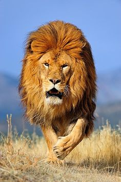 Barbary Lion (these no longer exist in the wild)