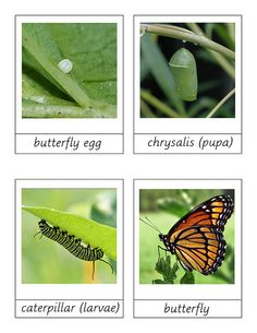 free printable butterfly life cycle cards