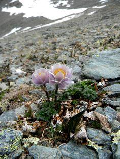 Trollius Lilacinus Bunge-foto Andrey Dedov - My site Alpine Garden, Alpine Plants, Unusual Plants, Rare Plants, Rock Flowers, Wild Flowers, Wonderful Flowers, Beautiful Flowers, Plantes Alpines