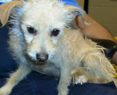 **NO NAME**  UPDATE JAN 2, 2016   STATUS UNKNOWN - PRESUMED EUTHANIZED.  SO SAD, RIP LITTLE GIRL  **TO BE KILLED ON DEC 17, 2016   **NO NAME**  #34080722 -   VERY YOUNG TERRIER/MIX FEMALE - ARRIVED 11/27/16.  AT SALLY PORT - EL PASO, TX   PLEASE GIVE THIS GIRL A NAME AND A HOME SO THAT SHE HAS A CHANCE TO GROW WITH LOVE.  TELE: 915/842-1000   EMAIL at ESDAS@elpasotexas.gov