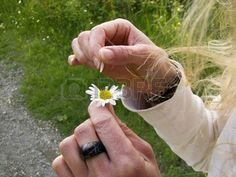 hand tear the petals of a daisy flower