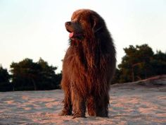 Brown Newfoundland - Marc Gommans Photography/Getty Images