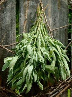 bundles of garden sage for drying