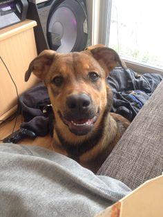 Kaia German Shepherd x Rottweiler | Pawshake Adelaide