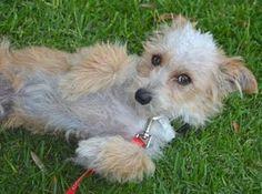 Casper, Poodle/Terrier mix