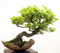 Bonsai - Belo equilíbrio da pedra em balanço e da copa inclinada, a cor das folhas também faz conjunto com a cor da base