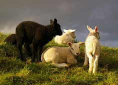 Baa baa black sheep.....