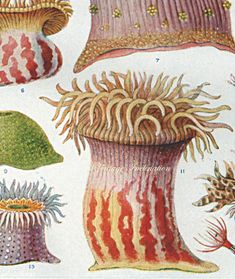 Vintage Sea Anemone Ocean Print 1555 by VintageInclination Sea Anemone, Nature Prints, Sea Shells, Ocean, Antiques, Painting, Animals, 1930s, Beautiful