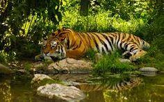 The Loin in jungle