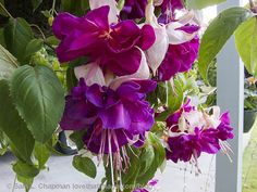 Ruffled magenta and light pink fuchsia blossoms