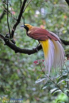 Lesser Bird of Paradise - Tropical bird