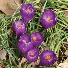 """For the """"record"""" since late #Winter has decided to show up again for parts of the country let's marvel at what would have been in bloom around that time with Crocus """"Flower Record"""" a sturdy strong growing bloom offering some of the first post-Winter color! Hang in there we WILL continue to #March2Spring #brrr #bulbchat"""