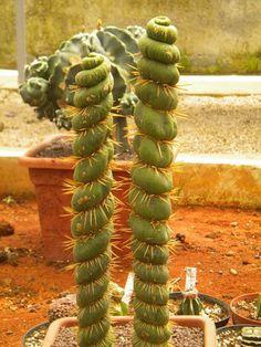 Eulychnia castanea spiralis