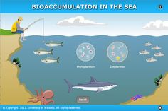 INTERACTIVE: Bioaccumulation in the sea  - Marine toxins, produced by phytoplankton, can accumulate in organisms in the food web. This process is called bioaccumulation.....