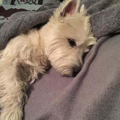 Who had TWO walks today... THIS GIRL!!! One walk after lunch and one walk after dinner for a total of 4 miles (6.4 km) I am one tired pup. Good night friends. (Mar. 31 2016) #westie #westhighlandwhiteterrier #westielove #westielife #westiegram #westietude #westiesofinstagram #dogs #dogoftheday #dogsofinstagram #doglovers #instagram @instagram #dogloversofinstagram #isabella #dogsofinstaworld #ilovemydog #pictureofheday #scottiesandwesties #instawestie #petsofinstaworld #westiemoments…