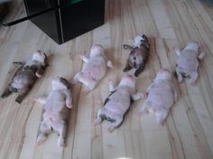 Bulldog puppy slumber party!