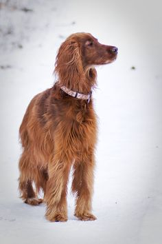 Irish Setter, requires daily walks and wide-open spaces because it's very active.