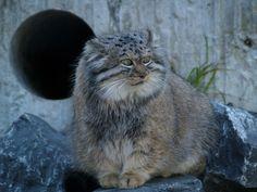 Manul, más néven pusztai macska