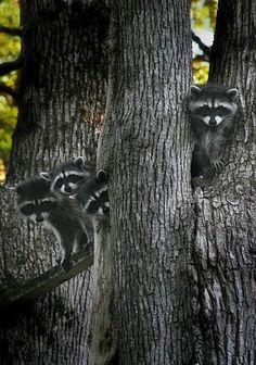 Raccoons lookin like a painting