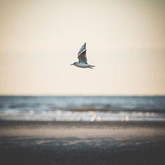 Hors série 2017 - Voyage #voyage #letouquetparisplage à deux pas de #lille #lillemaville #igerslille #piclille #bird #igersfrance #animal #beach #sea #nature #sunset #flying #landscape #hautsdefrance #hautsdefrance_inlive #hautsdefrancetourisme #colors #travelphotography #light #bythesea #nikonfr #d750