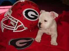 Little Bulldog in Training Georgia Bulldogs Football, Carolina Panthers Football, Dog Football, Football Helmets, Georgia Girls, Cute Bulldogs, Bulldog Puppies, Animal Pictures, Baby Animals