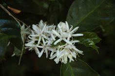Coffee flowers, Nicaragua