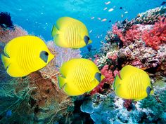 Masked Butterfly Fish, Gulf of Mexico
