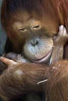Cahaya, a 10-year-old Sumatran orangutan, snuggles her 6-day-old male cub Malou at the zoo in Zurich, Switzerland on April 12.