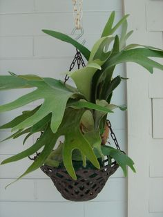 I really want a staghorn fern, sigh.