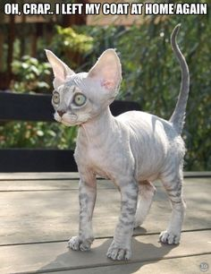 Haha! Awwww I don't usually like sphinx cats but this one is really cute! ^_^