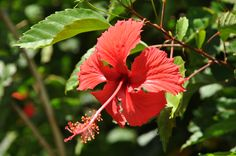 Red hibiscus of Moorea, French Polynesia