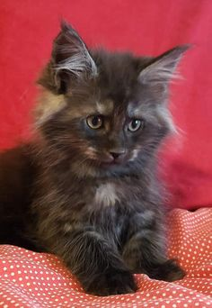 Cute Kittens, Cute Baby Cats, Cute Baby Animals, Cats And Kittens, Pretty Cats, Beautiful Cats, Grey Kitten, Cat Aesthetic, Fluffy Cat