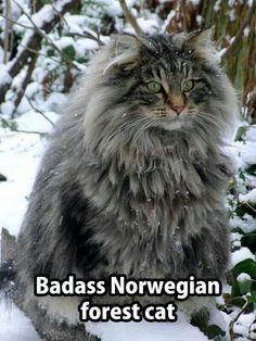Norwegian forest cat (Merlene)