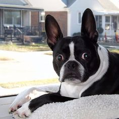 WHAT was that noise that just came from my rear. #BostonTerrier #Boston #Terrier