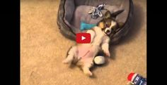 Leon the corgi was having too much fun playing with his ball; but when he tripped on his toy, he realized that he overexerted himself and laid on his bed for some rest. Trending Videos, Hanging Out, Corgi, Puppies, Play, Tired, Funny, Cute, Animals