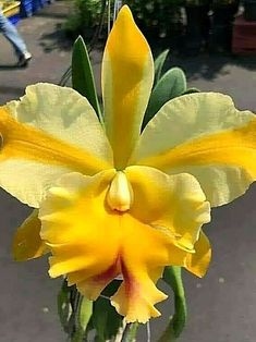 Deseja aprender a cultivar orquídeas? Clique neste pin e confira. Most Beautiful Flowers, Exotic Flowers, Tropical Flowers, Pretty Flowers, Yellow Orchid, Yellow Flowers, Garden Plants, House Plants, Orquideas Cymbidium