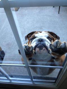 Let Me In! #English #Bulldog