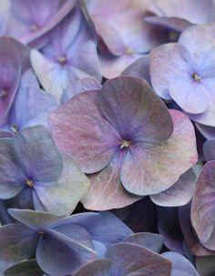 """""""a rainbow"""" Hydrangea"""