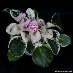 Care and propagation tips for African Violets - the image is beautiful.   Variegated leaves add so much interest to the plant.