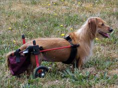The Catch-It-All by K9 Carts is designed to catch feces, and in the case of females (with the insertion of a sanitary pad) urine.