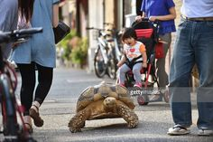 that kid's expression is SUPER CUTE ... Bon-chan, a 19 year old male African spurred tortoise weighing about 70 kg (154 pounds), walking w/ his owner Hisao Mitani on a street in the town of Tsukishima in Tokyo. 10 June 2015. AFP PHOTO / KAZUHIRO NOGI || video: (1) https://www.youtube.com/watch?v=LiMIvKMYzIw (2) http://www.bbc.com/news/world-asia-33164705