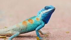 Found only on Cayman Islands, blue iguana species has been updated from critically endangered to only endangered.