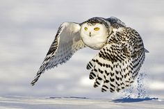 Wow! Look at this owl in filght!
